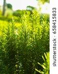 rosemary  rosmarinus... | Shutterstock . vector #658415833
