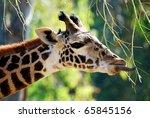 Giant Tongue Of A Giraffe...