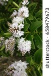 Hebe Albicans White Flowers