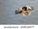 Mallard Duck Coming In For A...