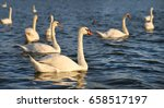 Photo Of Beautiful Swans On A...