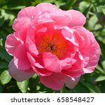 the peony is a flowering plant... | Shutterstock . vector #658548427