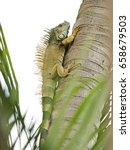 A Wild Iguana  Species  Iguana...