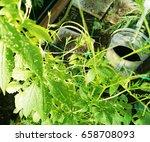 achocha cyclanthera pedata in... | Shutterstock . vector #658708093