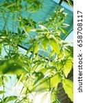 achocha cyclanthera pedata in... | Shutterstock . vector #658708117