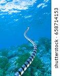 Small photo of Banded sea snake , Laticauda colubrina, Sulawesi Indonesia