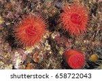 Small photo of Sea lillies, Actinia equina, Sarigerme Turkey.
