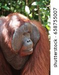 Small photo of Closeup of hanging alpha male orangutan, Tanjung Puting National Park, Borneo.