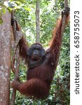 Small photo of Hanging alpha male orangutan, Tanjung Puting National Park.