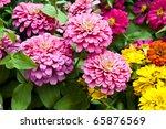 Zinnia Elegans Flowers