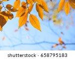 autumn beech leaves  yellow...