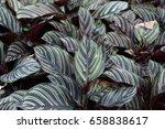 calathea ornata sanderiana on... | Shutterstock . vector #658838617