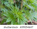 a plant of cannabis | Shutterstock . vector #659054647