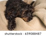 Small Black Shih Tzu Mix Breed...