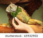 Iguana Eats Green Sheet