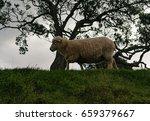 sheep in new zealand    Shutterstock . vector #659379667