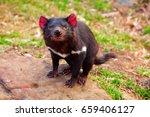 Tasmanian Devil  Australia