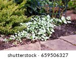 shady ground cover plant lamium ... | Shutterstock . vector #659506327