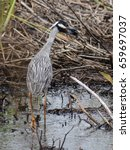 Small photo of Yellow-Crowned Night Heron at Caw Caw Interpretive Center
