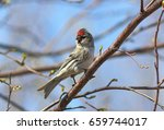 Small photo of Carduelis hornemanni, Acanthis hornemanni. The male Redpolls sitting on the branches