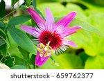 passiflora caerulea | Shutterstock . vector #659762377