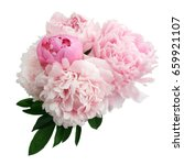 pink peony flower isolated on... | Shutterstock . vector #659921107