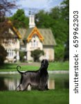 afghan hound ch. white infinity'... | Shutterstock . vector #659962303