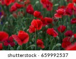 flowers red poppies blossom on... | Shutterstock . vector #659992537