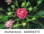 macro  pink flower bud with a... | Shutterstock . vector #660006373