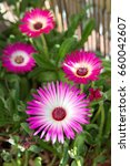 "Small photo of Ice plant ""Mesembryanthemum crystallinum"", ficoide glaciale, Aizoaceae succulent plant, Dorotheanthus bellidiformis plant"