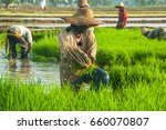 Farmer Working Rice Plant In...