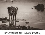 Stray Dog Walking In The Water