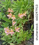 Small photo of Alstroemeria commonly called the Peruvian lily or lily of the Incas. Alstroemeriaceae family