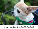 very soft focus chihuahua dog | Shutterstock . vector #660306247