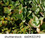Small photo of Bryophyllum daigremontiana, Crassulaceae, Mother of Thousands, Kalanchoe, Bryophyllum