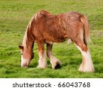 Clydesdale Horse In Pasture