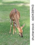 Small photo of Lovely Nyala eating grass on the ground in the natural environment Safari park.