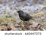 Common Starling On Ground....