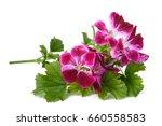 scented geranium flowers... | Shutterstock . vector #660558583