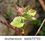 beautiful young shoot of grapes ... | Shutterstock . vector #660675733