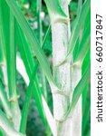 fresh green sugar cane on... | Shutterstock . vector #660717847
