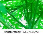 single green papaya top tree... | Shutterstock . vector #660718093