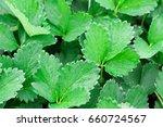 rich green strawberry in garden ... | Shutterstock . vector #660724567