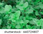 fresh green pepper mint grow... | Shutterstock . vector #660724807