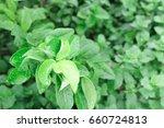 fresh green pepper mint grow... | Shutterstock . vector #660724813