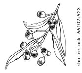 hand drawn eucalyptus gumnuts... | Shutterstock .eps vector #661025923