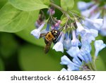 bumblebee on virginia bluebells | Shutterstock . vector #661084657