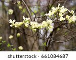 blooming white and yellow... | Shutterstock . vector #661084687