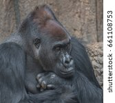 Small photo of Portrait of powerful African gorilla, adult, alpha male