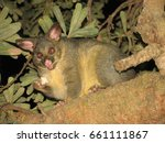 Small photo of Night Australian possum Phalangeridae eating stolen bread, Jervis Bay, New South Wales, Australia